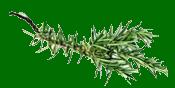 Branche romarin.png