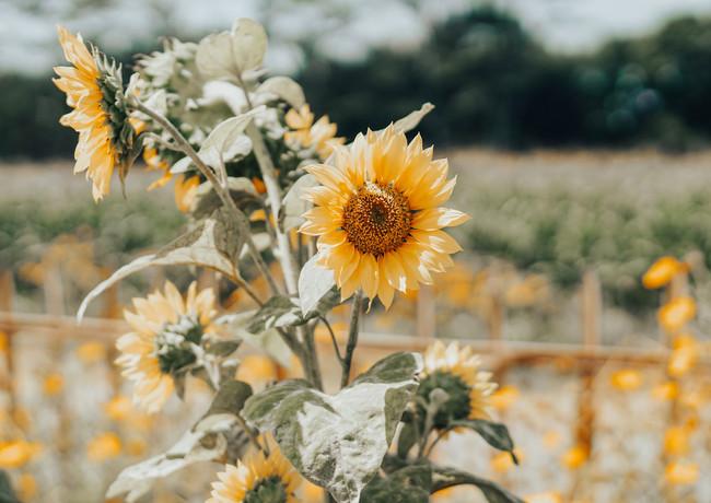 Sonnenblumen Sonnenblumenöl Naturkosmetik