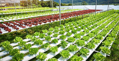 hydroponical lettuce