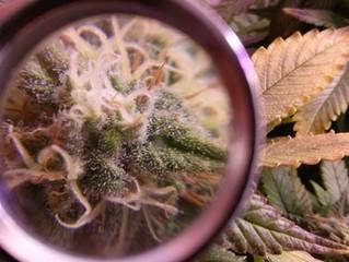 Marijuana grower: Be the best