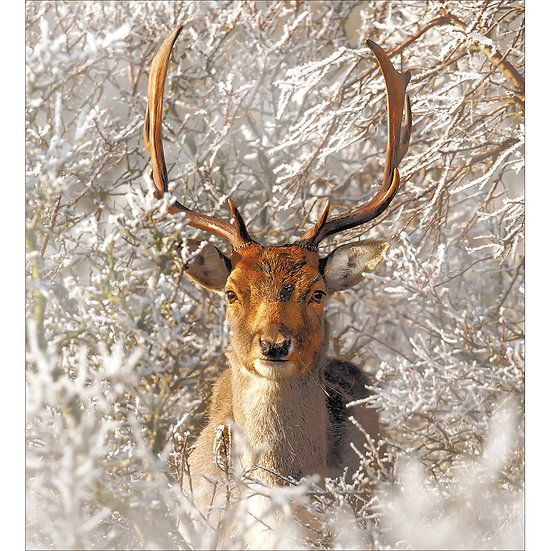 Charity Card Pack Stag