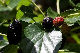 JCCB Mulberry.jpg