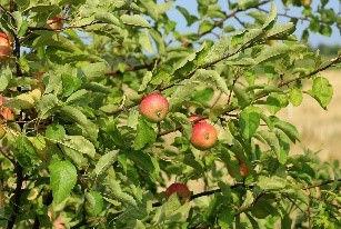 JCCB Apples.jpg