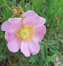 JCCB wild rose.jpg