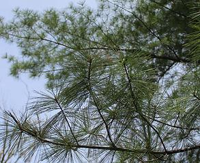 JCCB White pine trees.JPG