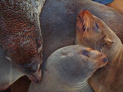 Südafrikanische Pelzrobben