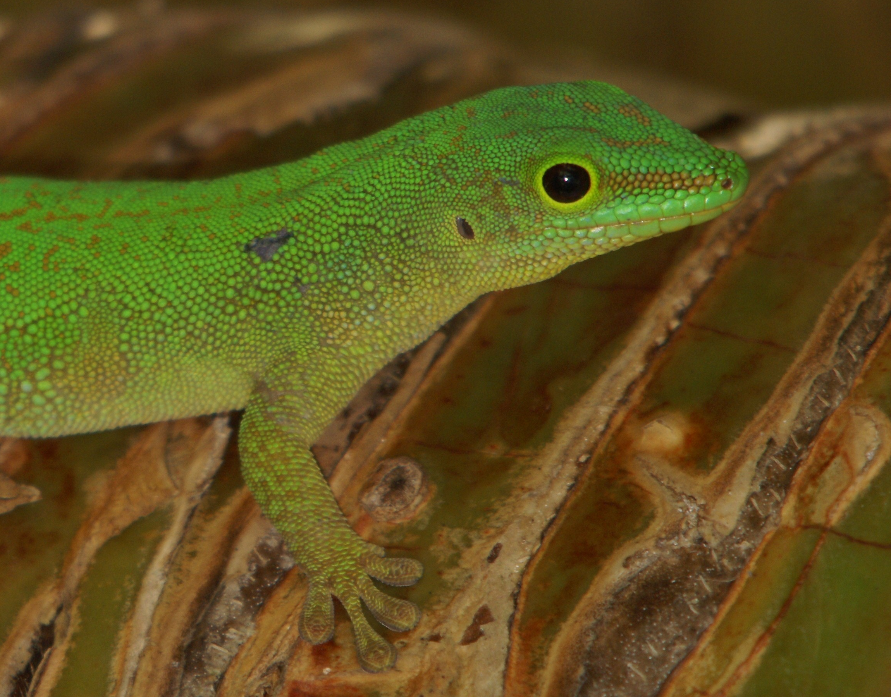 Seychellen-Taggecko