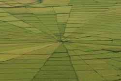 Spinnennetz-Reisfelder
