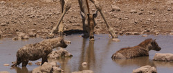 Hyänen und Giraffe