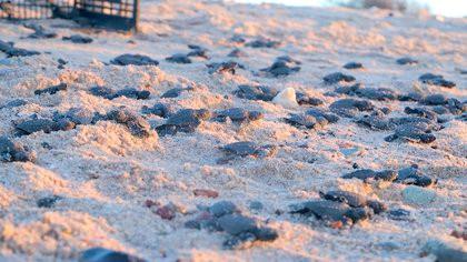 Miles de tortugas en peligro de extinción: nacieron gracias a la escasez de turistas por la pandemia