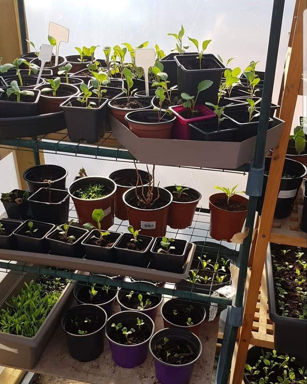 seedlings plants growing in greenhouse