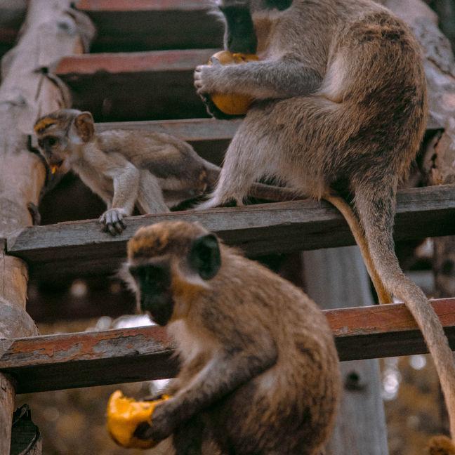 Gambian monkeys