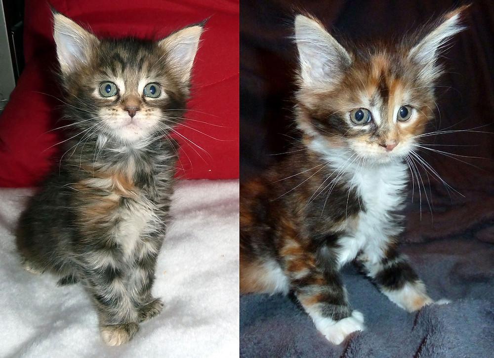 MainConn Kitten
