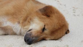 Sommer, Sonne, Sonnenbrand - auch beim Hund!