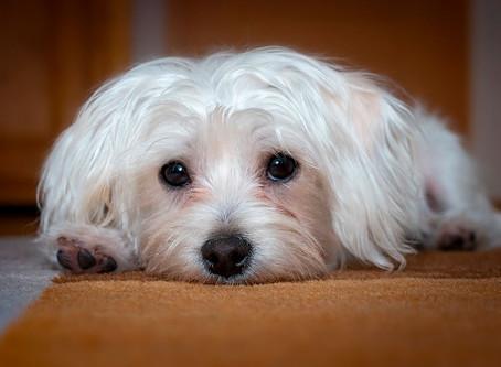 Können Hunde eifersüchtig werden?