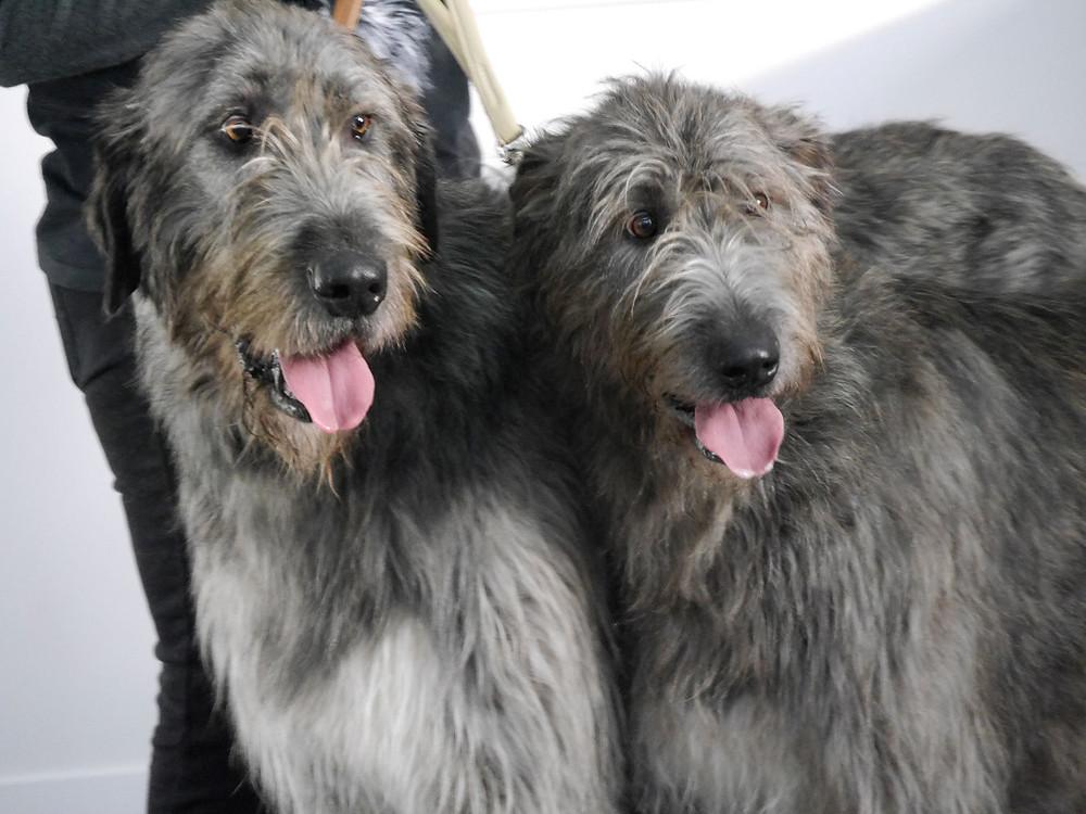 Irische Wolfshunde auf der Dog Live