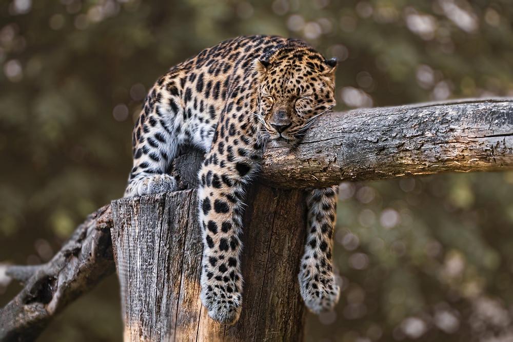 Leopard liegt auf Baum und schläft - immer nur müder?