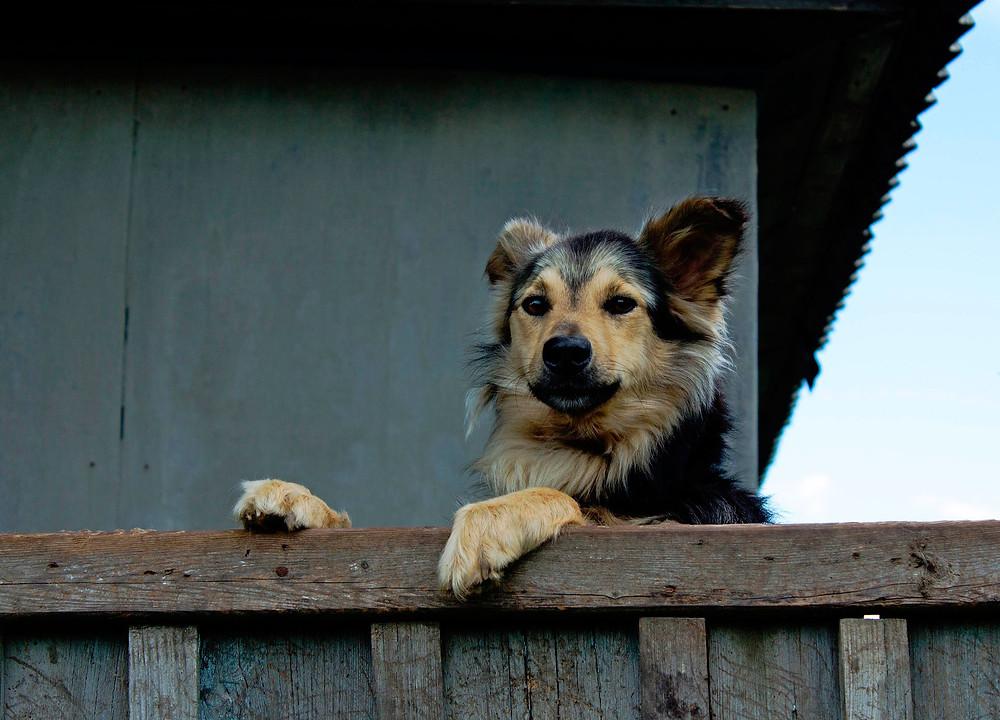 Hund macht Stress am Gartenzaun. Hund bellt am Gartenzaun