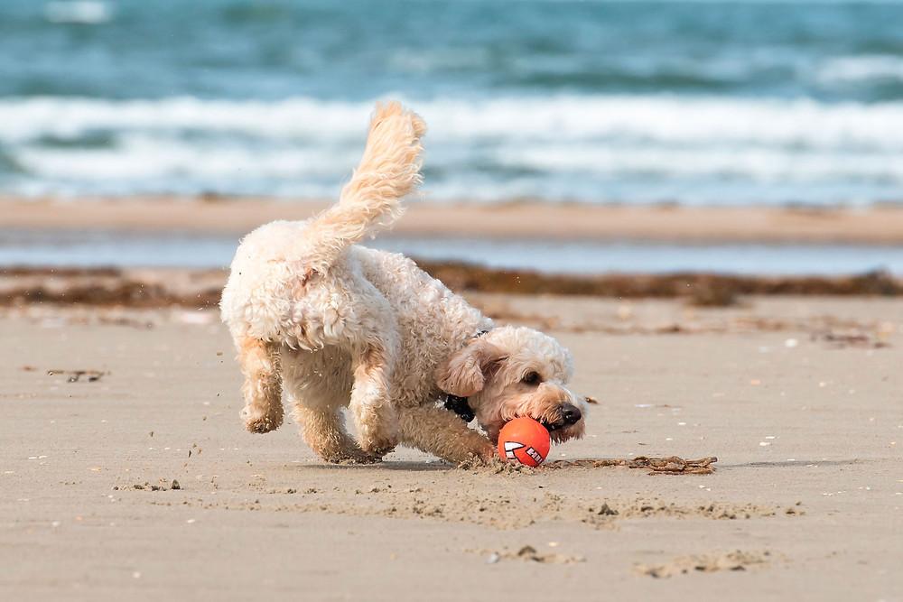 Hund spielt Ball am Strand - der Hundeblog