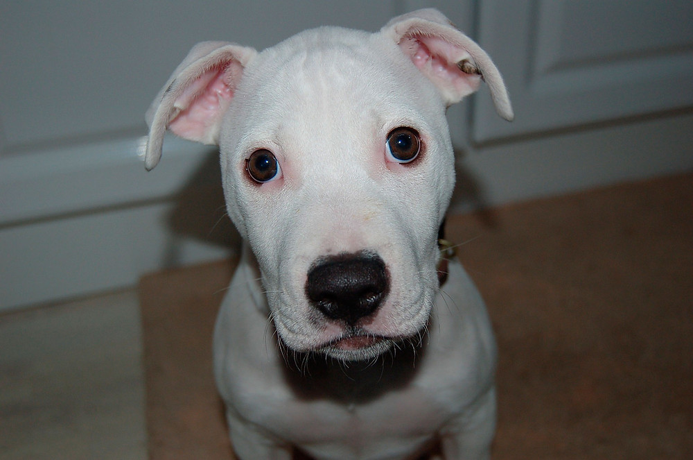 pitbull-listenhund-kampfhund