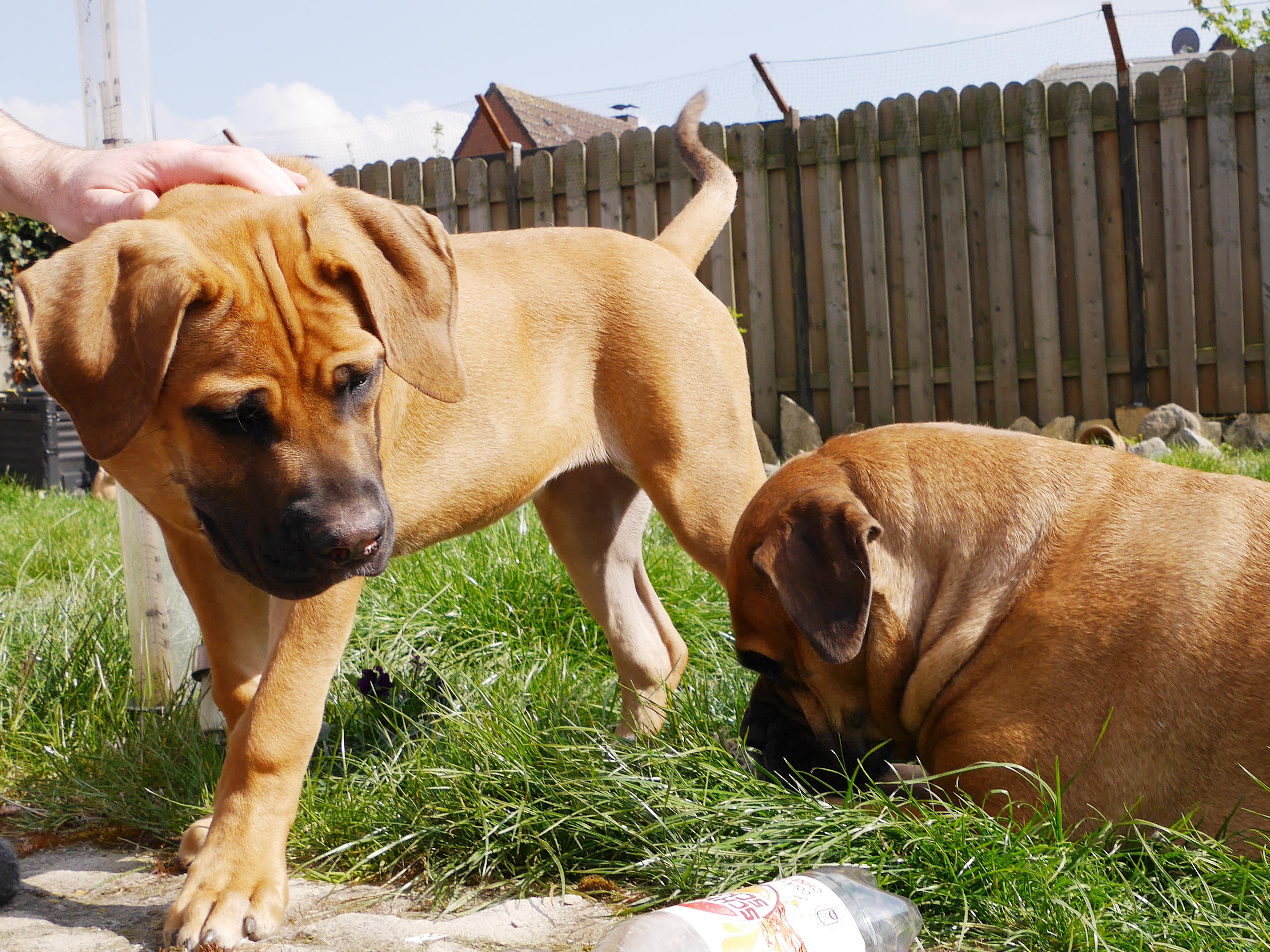 der-hundeblog-boerboel-anna-paula-2