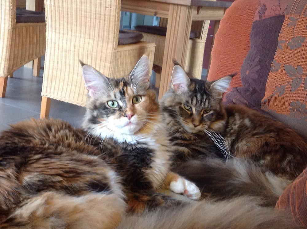 MainCoon Katzen liegen zusammen