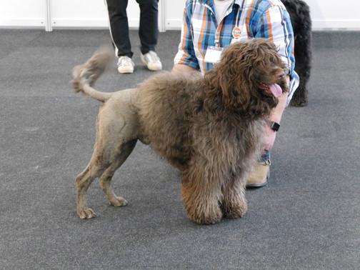 Protugiesischer Wasserhund