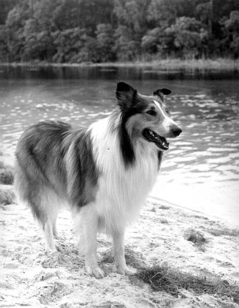 Collie Lassie, berühmter Hund aus Film und Fernsehen