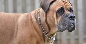 Graue Schnautze - unser Hund wird alt.