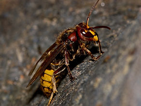 european-hornet-profile.jpg