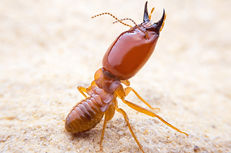 termites-in-tequesta-2.png