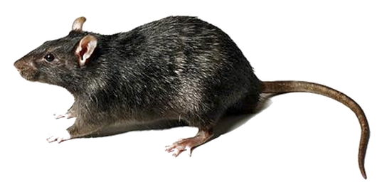rat trasnparent.png