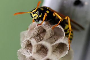 paper-wasp-nest.jpg