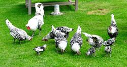 Hühner und Küken.J_579