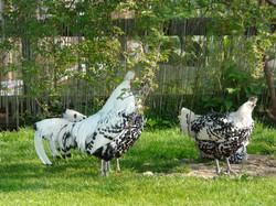 Kaninchen_und_Hühner_im_Auslauf_079