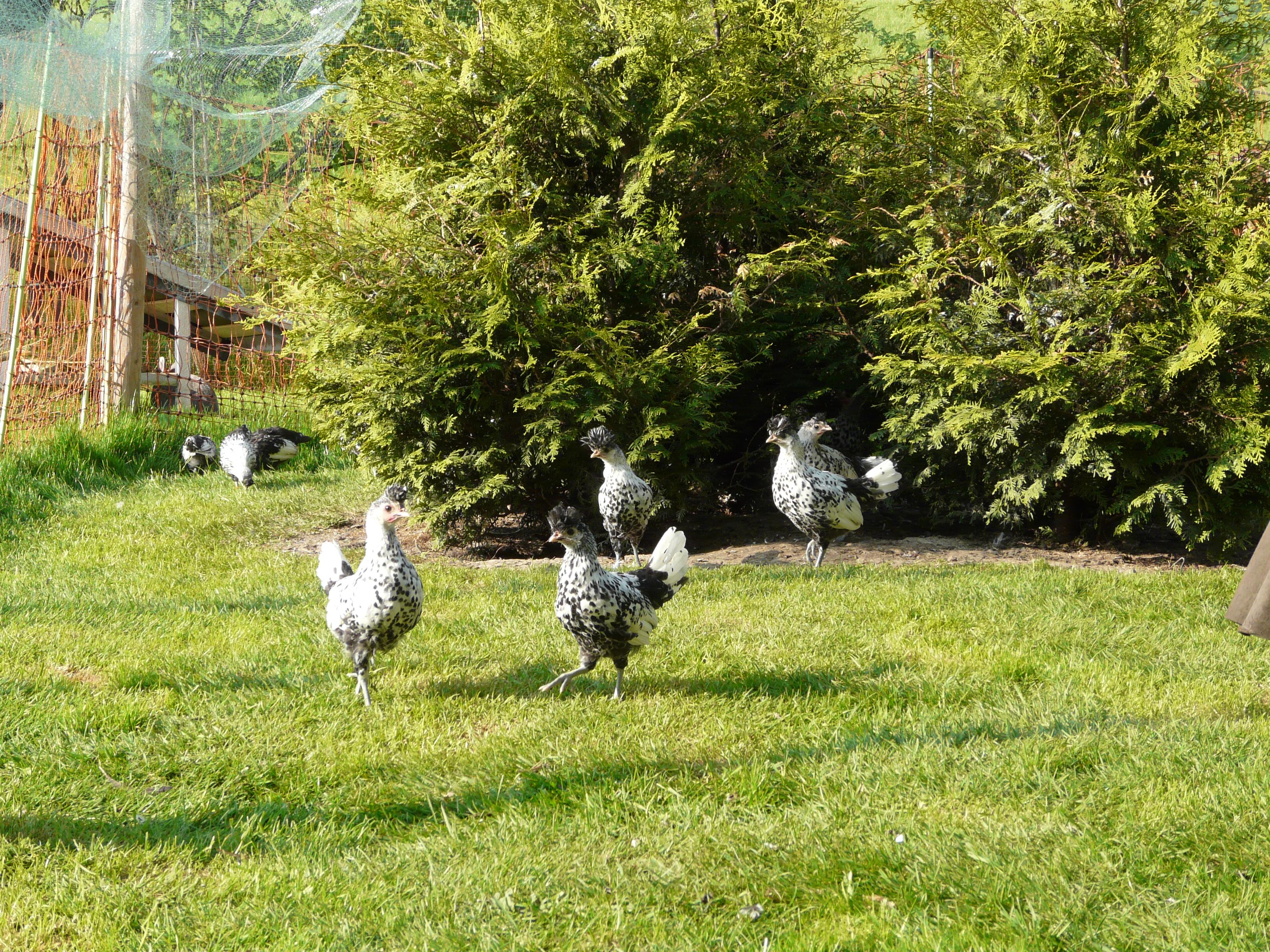 Kaninchen_und_Hühner_im_Auslauf_085