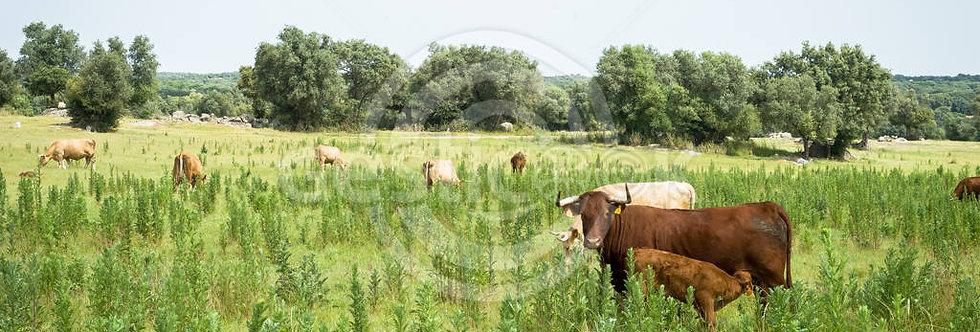 Vacas do campo