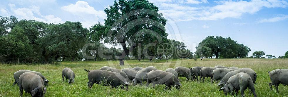 Porcos no campo