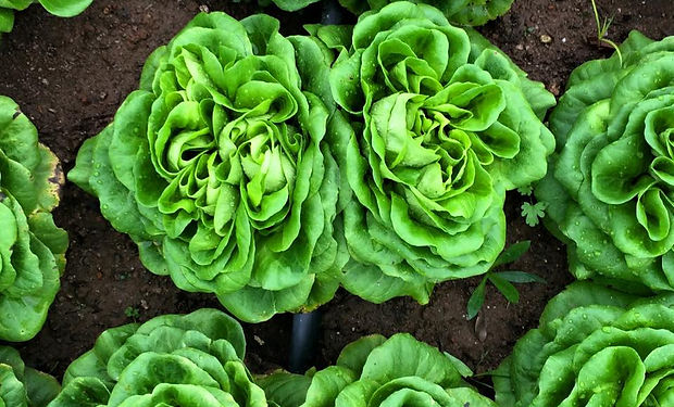 Photo of lettuce growing in Upstate South Carolina. We help companies grow brand awareness and authority.