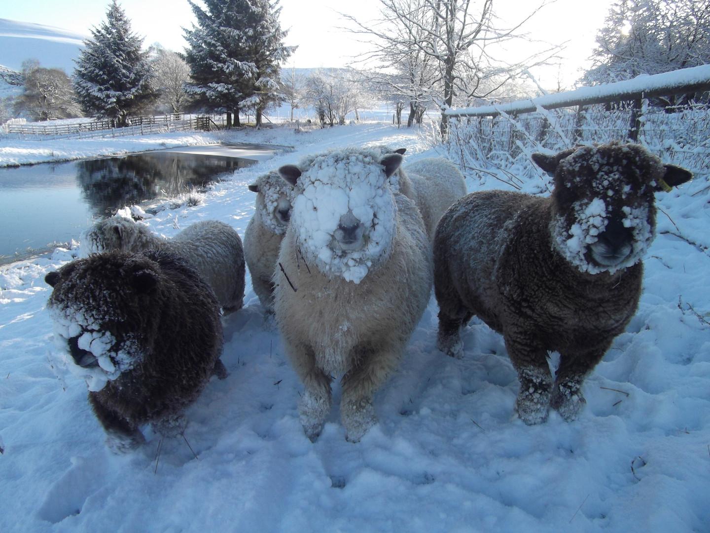 Friendly sheep.JPG