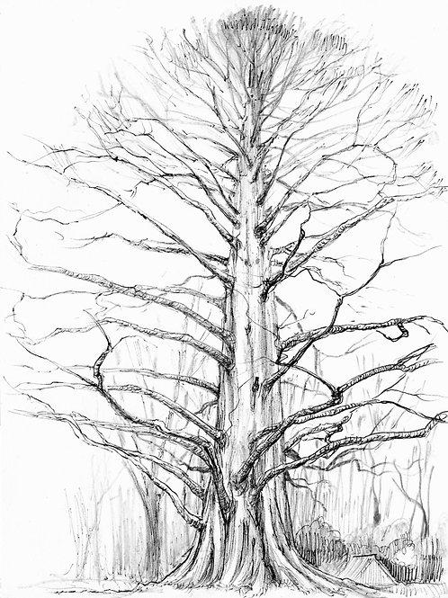 Mayetta Redwood