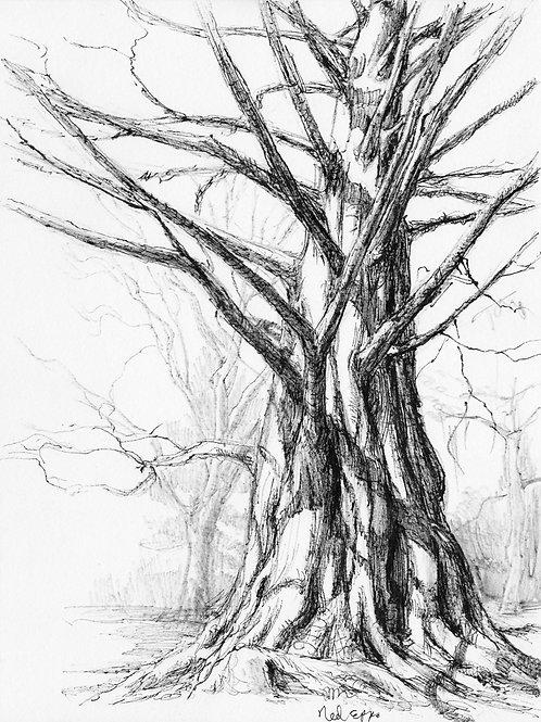 Cylburn Pine