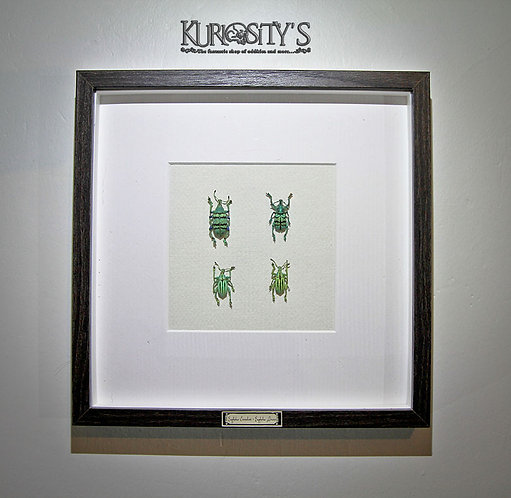Véritable insectes sous cadre (Eupholus)