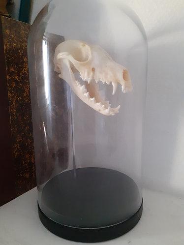 Crâne de renard sous globe
