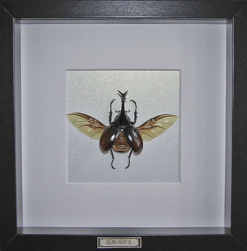 Coléoptère scarabé rhinocéros sous cadre vitré
