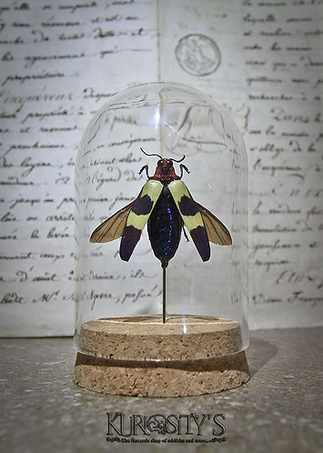 Véritable insecte Chrysochroa Buqueti, sous Coche de Verre