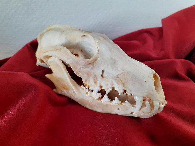 Veritable crâne de renard gris