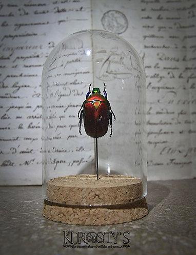 Véritable insecte Torynorrhina flammea sous cloche de verre