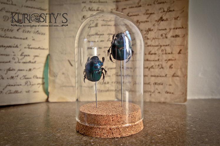 Couple de Scarabée (Oxysternon Conspicillatum) sous cloche de verre