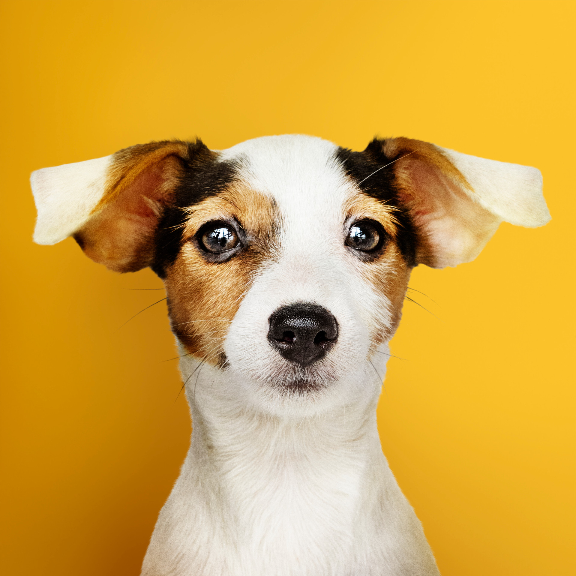 adorable-jack-russell-retriever-puppy-po